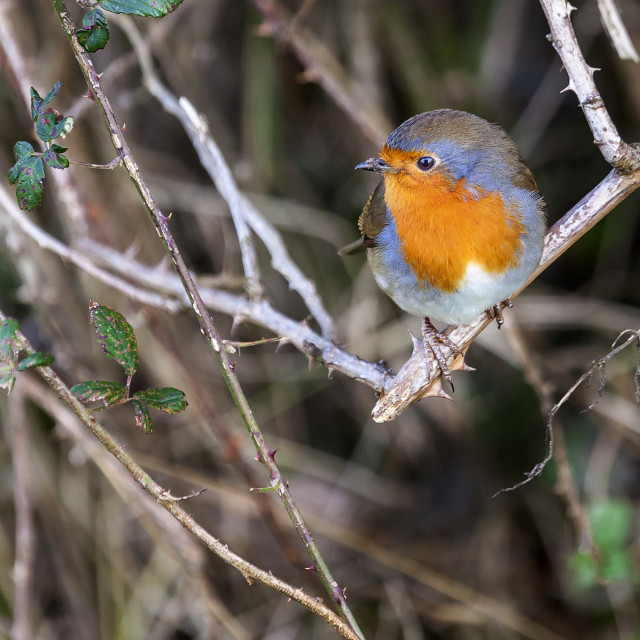 """Robin Red Breast"" stock image"