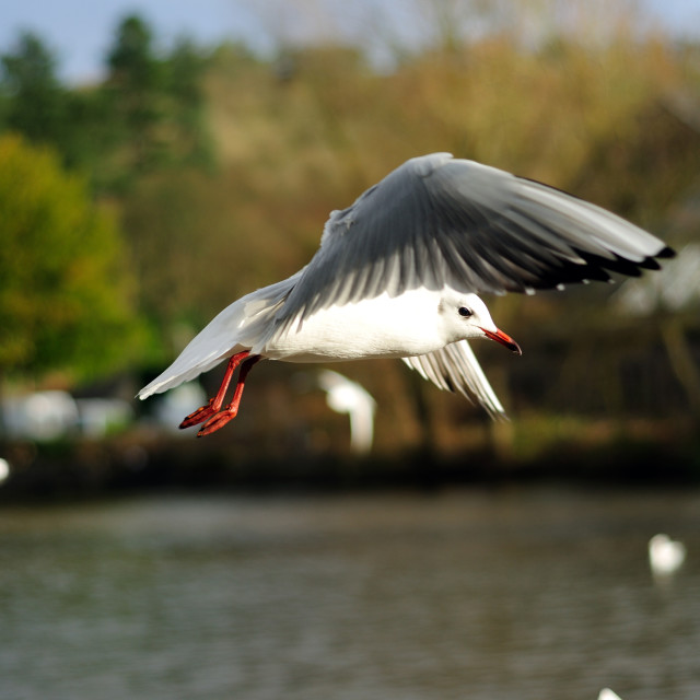 """Gull In Flight ."" stock image"