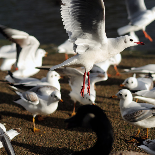 """Gulls Feeding Frenzy ."" stock image"