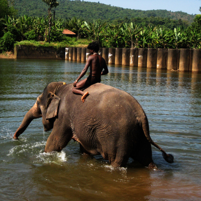 """Domesticated elephant glad to see water"" stock image"