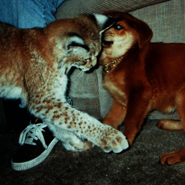 """Kitten siberian lynx and puppy playing"" stock image"