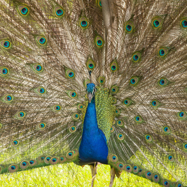 """Indian peacock"" stock image"