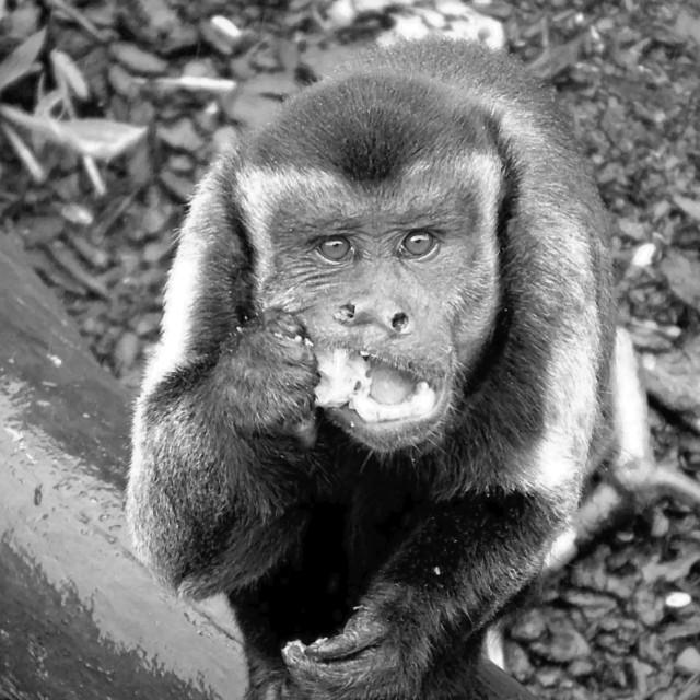 """""""Monkey eating"""" stock image"""