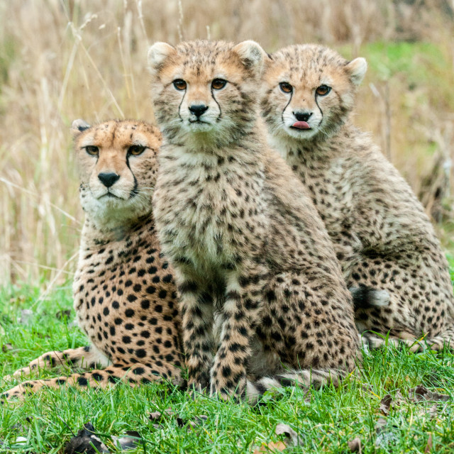 """African Cheetah Family"" stock image"