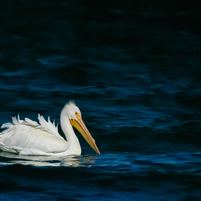 """White Pelican"" stock image"