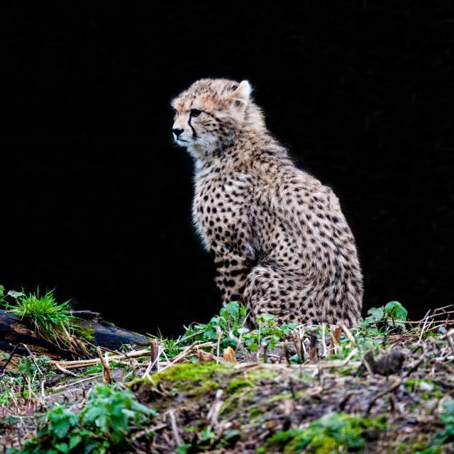 """""""Cheetah Cub"""" stock image"""
