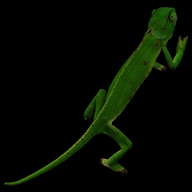 """Chameleon on black background"" stock image"