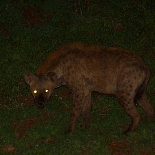 """Hyena at night"" stock image"