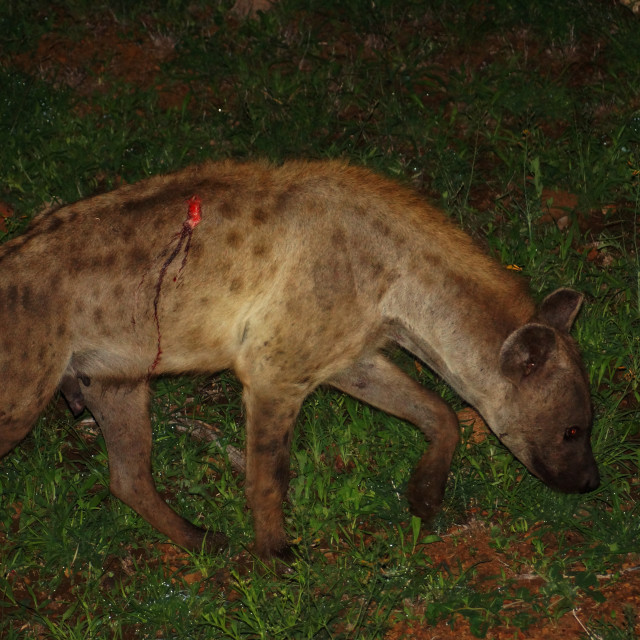 """Injured hyena."" stock image"