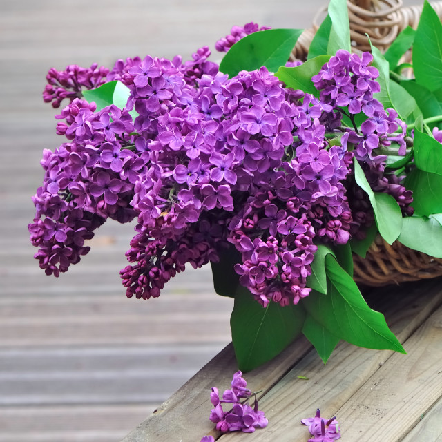 """lilac flowers in a wicker basket"" stock image"