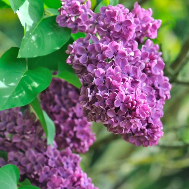 """purple lilac"" stock image"