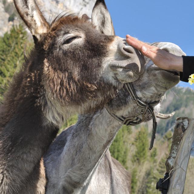 """""""Cuddle a donkey"""" stock image"""
