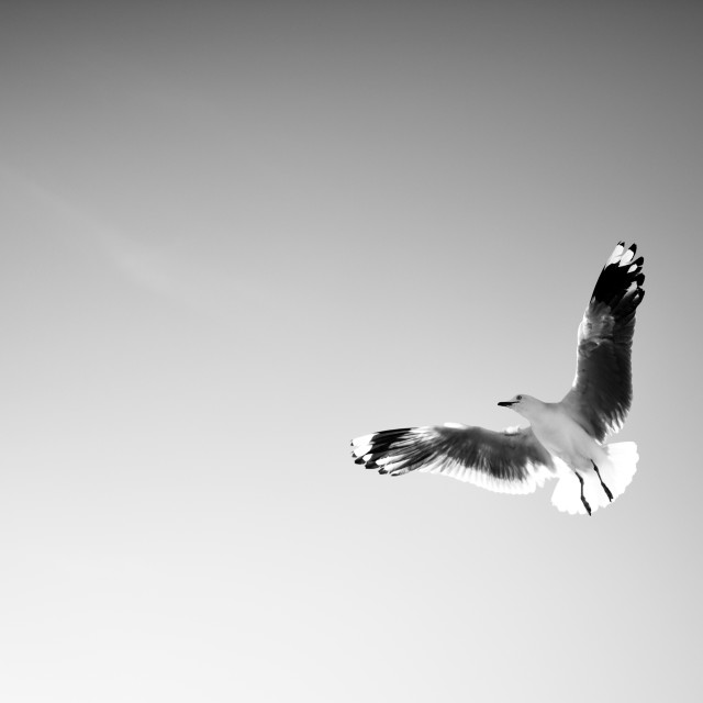 """Seagull (B&W)"" stock image"