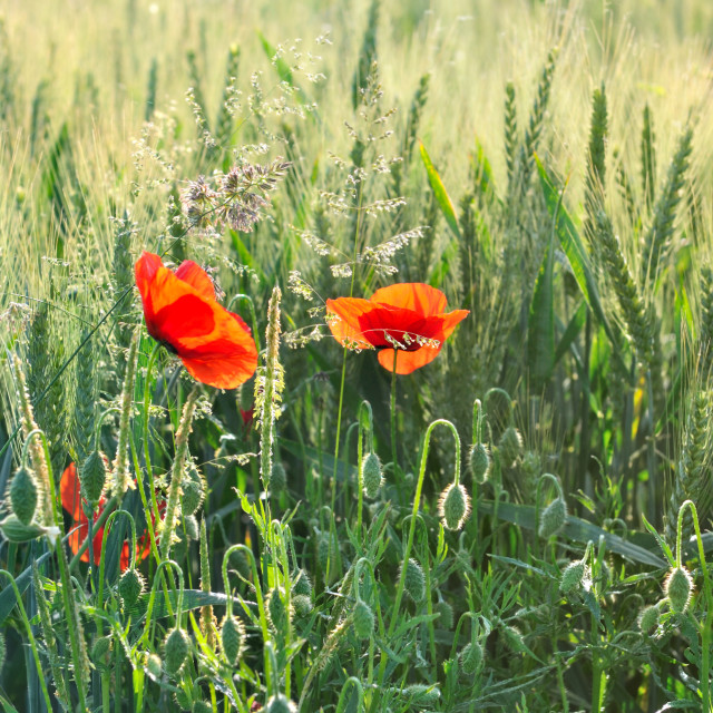 """""""poppies in field"""" stock image"""