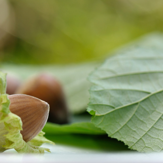 """fresh hazelnuts"" stock image"