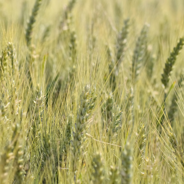 """ears of barley"" stock image"