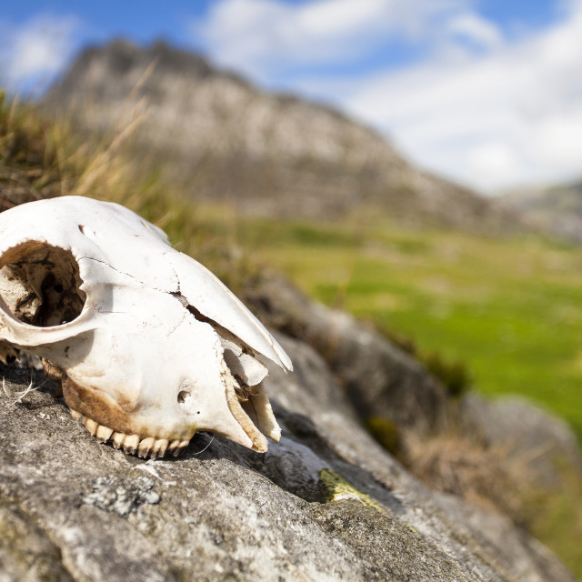"""A sheeps Scull"" stock image"