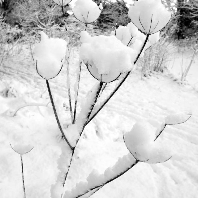 """Snow drop, snowdrops"" stock image"