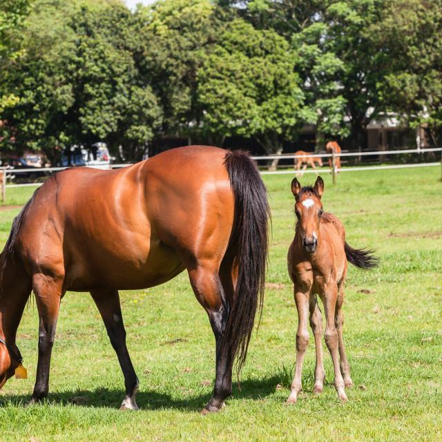 """Horse Foal Colt Stud"" stock image"