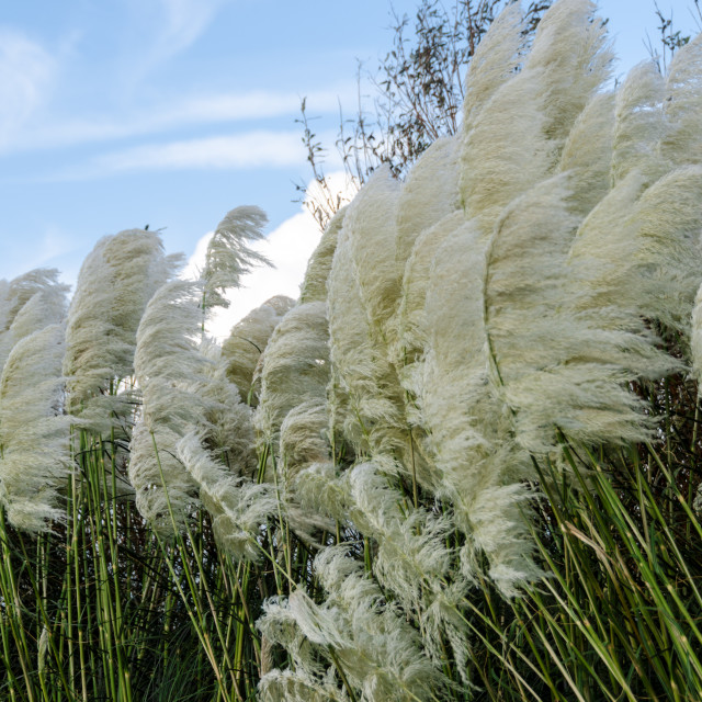"""Pampas Grass Blown by the Wind"" stock image"