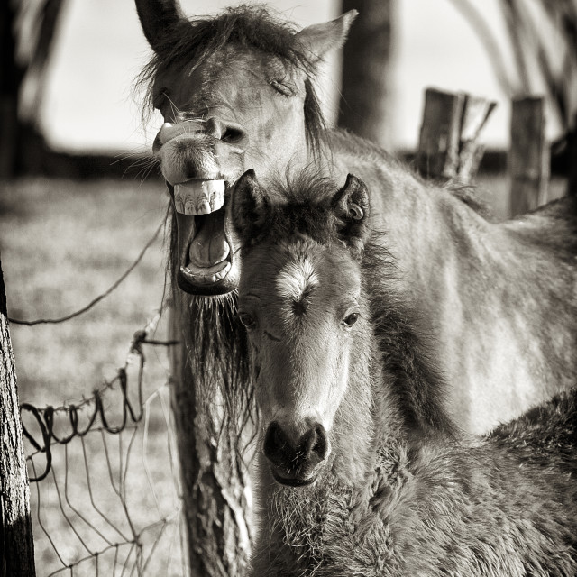 """Laughing mare with her foal"" stock image"