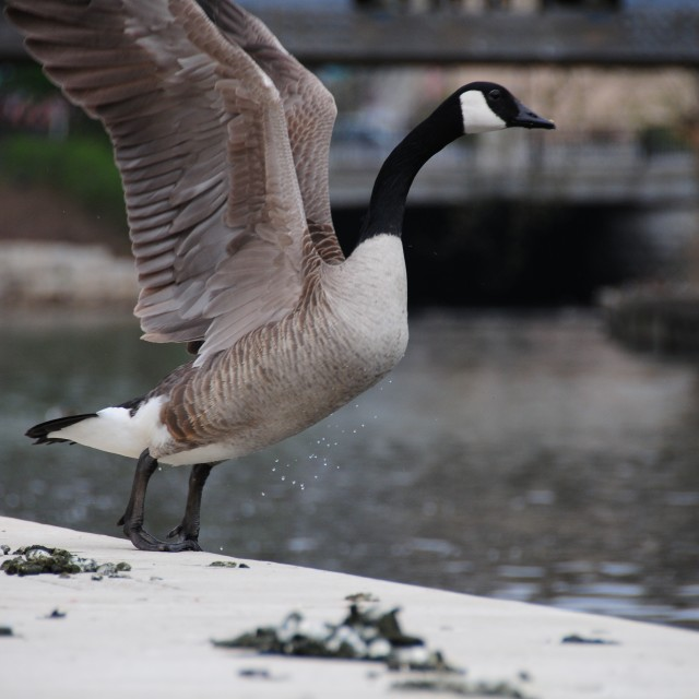 """Goose poop"" stock image"