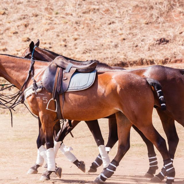 """Polo Horse Ponies Saddles"" stock image"