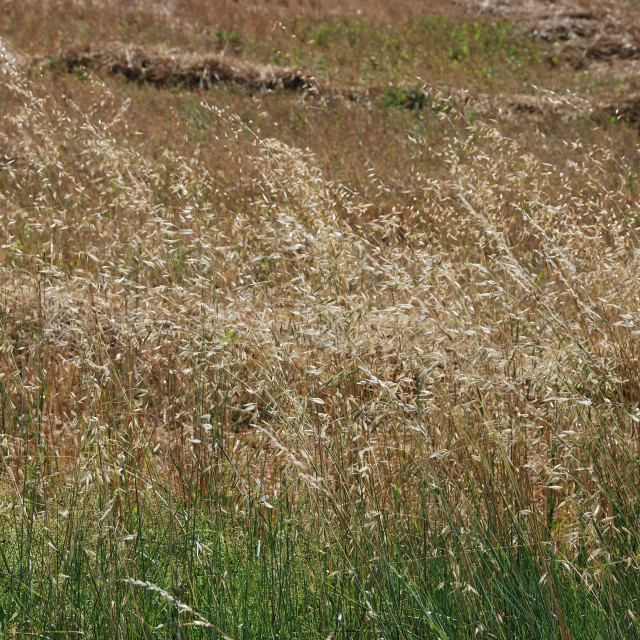 """""""oats and grass in summer"""" stock image"""
