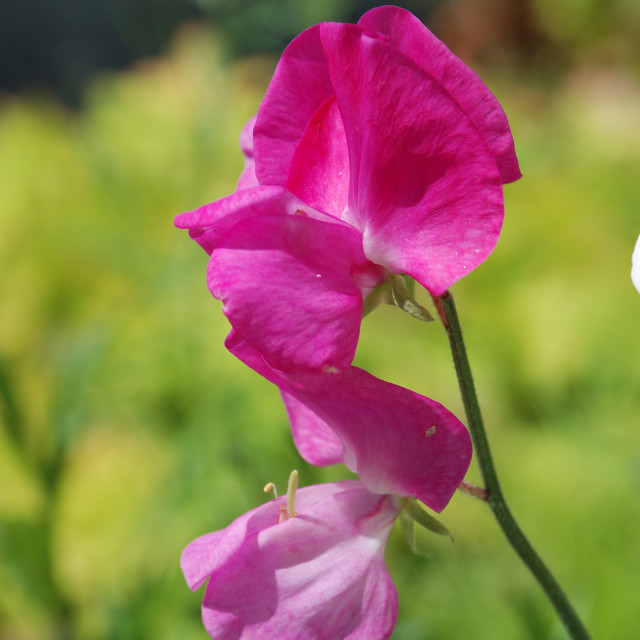 """Sweet pea flowers (Lathyrus odoratus)"" stock image"