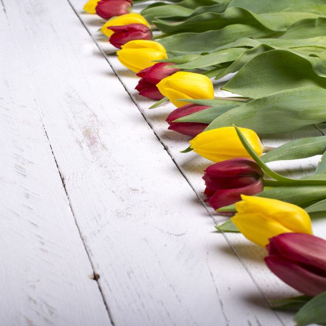 """Tulips on white wooden planks eves"" stock image"