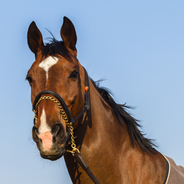 """Horse Portrait Closeup"" stock image"