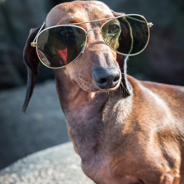 """Dachshund dog with sunglasses at sea"" stock image"