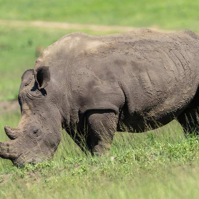 """Rhino Wildlife"" stock image"