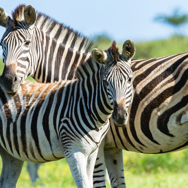 """Zebra Calf Wildlife"" stock image"