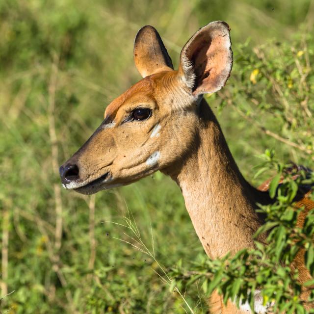 """Buck Calf Wildlife"" stock image"