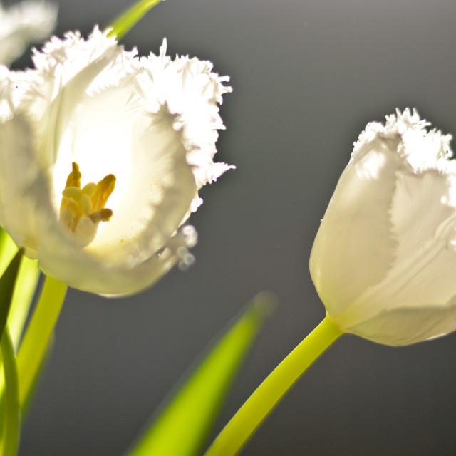 """White Tulip"" stock image"