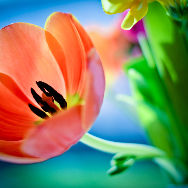 """Orange Tulip"" stock image"