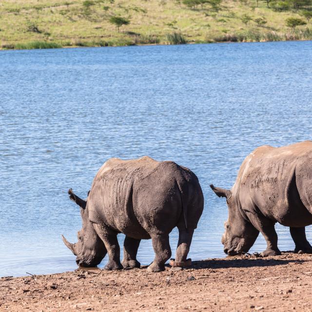 """""""Rhinos Wildlife"""" stock image"""