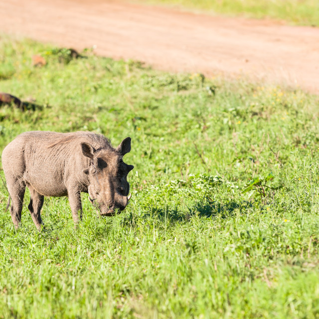 """Warthog Wildlife"" stock image"