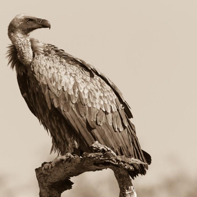 """Vulture Bird"" stock image"