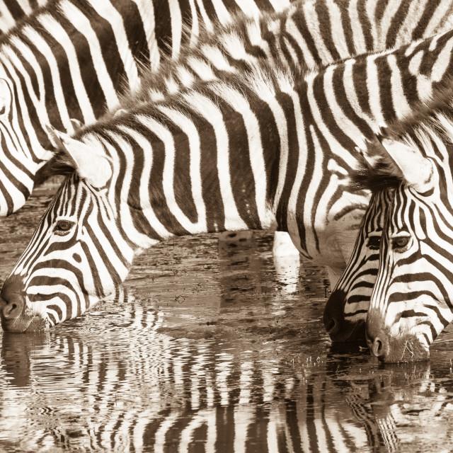 """""""Zebra's"""" stock image"""