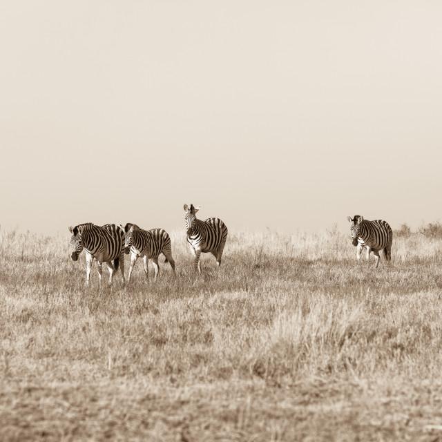 """Zebra's Landscape"" stock image"