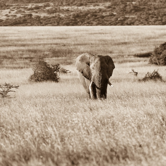 """Elephant Savannah"" stock image"