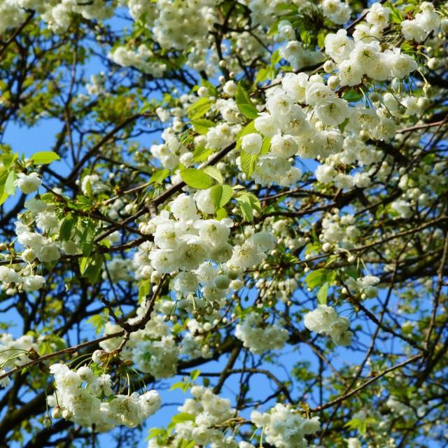 """""""Spring Blossom."""" stock image"""