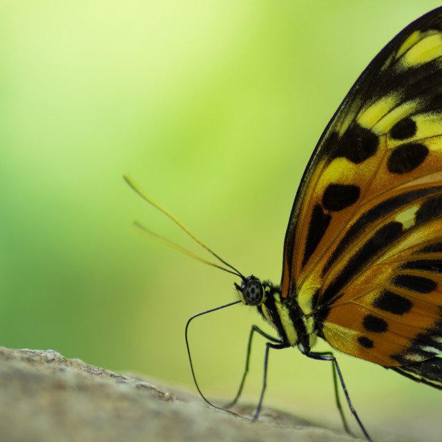 """Isabella's Longwing"" stock image"