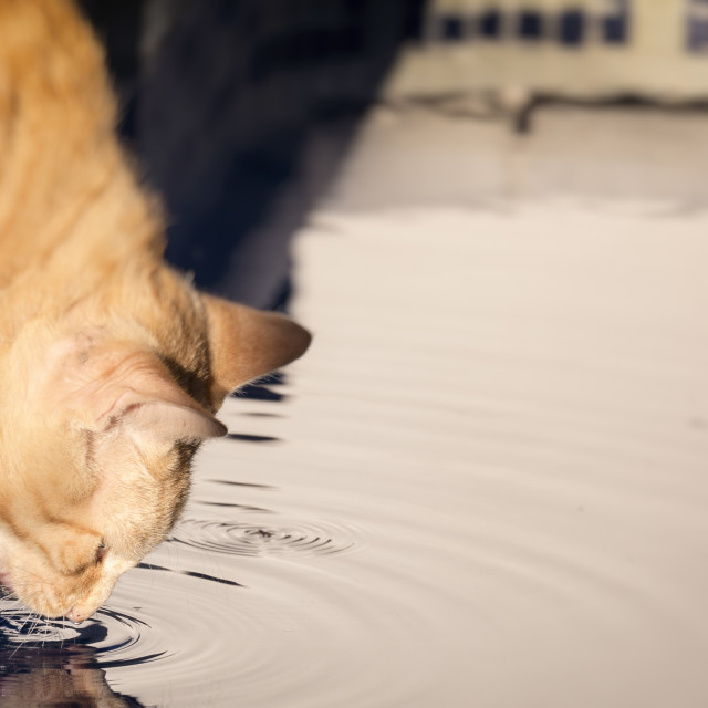 """Cat Drinking Water from a Swimming Pool"" stock image"