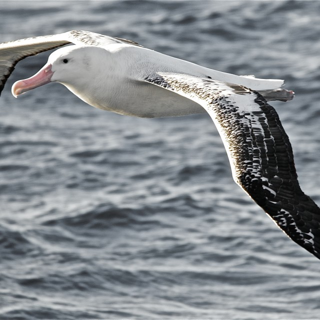 """The Albatross"" stock image"