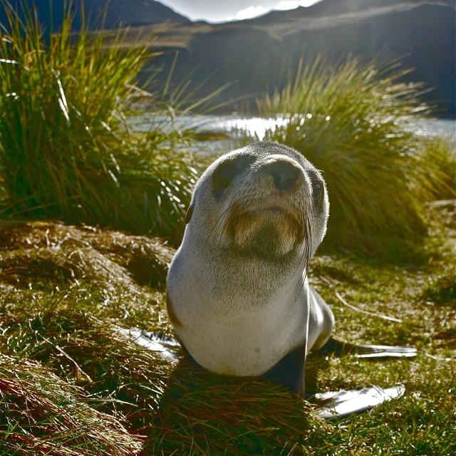 """Fur Seal Pup"" stock image"