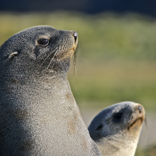 """Fur seals"" stock image"