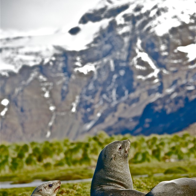 """Fur seal by mountain"" stock image"